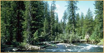 mountain stream among fir trees
